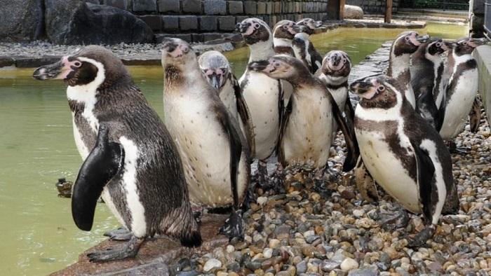 活久见!霍芬海姆球探被怀疑从动物园偷企鹅